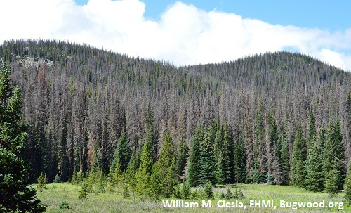 Gray stage Mtn pine beetle-killed lodgepole