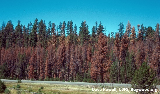Red stage mtn. pine beetle attack in lodgepole
